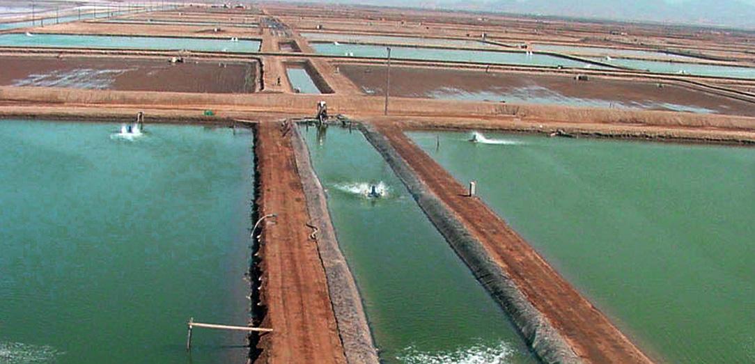 دراسة حلول لمواجهة تأثيرات الأمراض على مزارع الروبيان في المملكة العربية السعودية