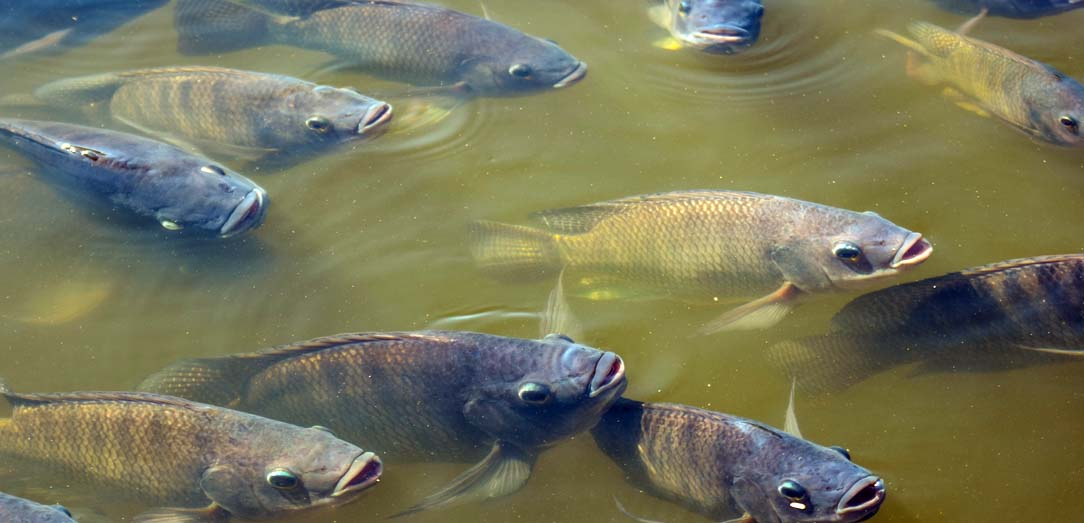 تطوير تقنيات استزراع أسماك البلطي بالمركز الوطني للثروة السمكية